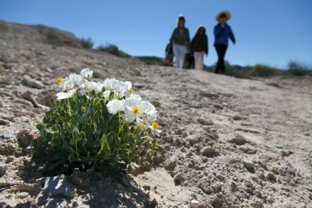Elaine York, right, the West Desert Regional Director for the Nature Conservancy, leads a tour Saturday, April 23, 2016 of the Nature Conservancy's new White Dome Nature Preserve, one of just five places on earth where the endangered dwarf bear poppy, at left, grows. The preserve is open to the public and features several miles of hiking trails where visitors can see the endangered plant.