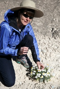 Elaine York, the West Desert Regional Director for the Nature Conservancy, leads a tour Saturday, April 23, 2016 of the Nature Conservancy's new White Dome Nature Preserve, one of just five places on earth where the endangered dwarf bear poppy, at left, grows. The preserve is open to the public and features several miles of hiking trails where visitors can see the endangered plant.